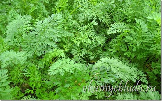 На этом фото - пушистая зелёная морковная ботва, которая несёт в себе много полезного...